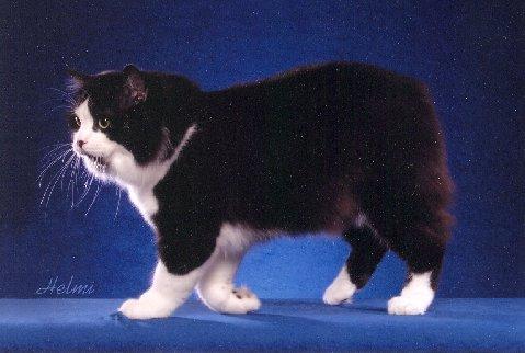 portraits de chats races chat de l 39 ile de man longhair ou cymric. Black Bedroom Furniture Sets. Home Design Ideas
